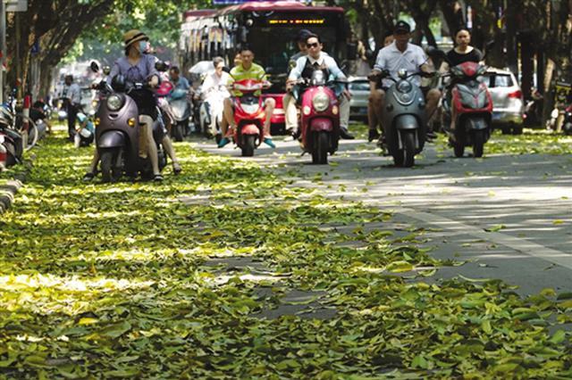 初夏时节南宁现大面积落叶 回应:果树夏季换叶正常