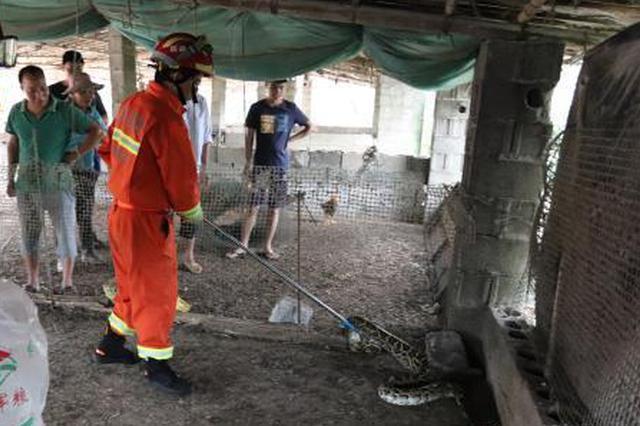 20斤大蟒蛇盘踞东兴一鸡场吓坏村民 消防员紧急除险