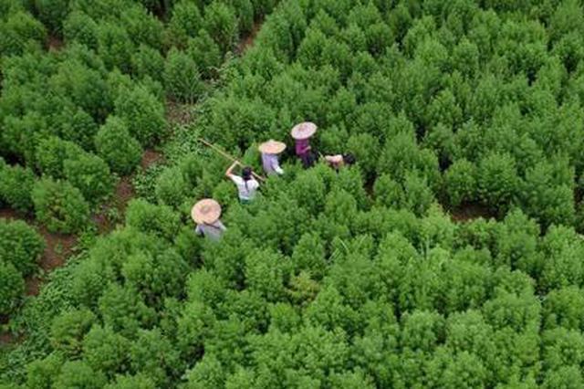 屠呦呦发现的抗疟高效药 原材料最大产地在广西这里