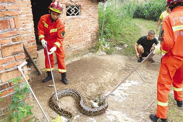 可怕!50斤大蟒蛇溜进鸭棚 偷吃10只鸭还生蛋安家