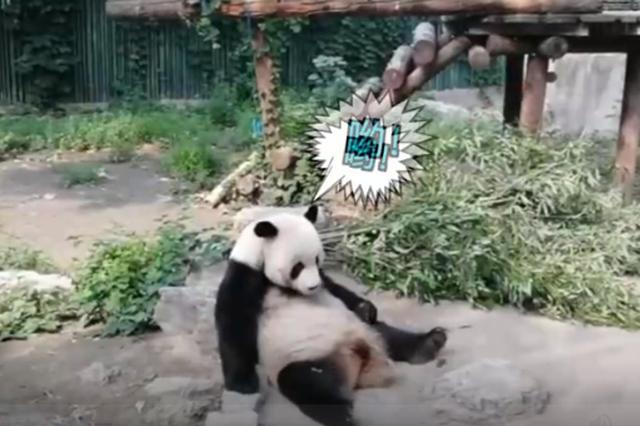 游客砸熊猫 园方回应:目前状况良好 加强巡查
