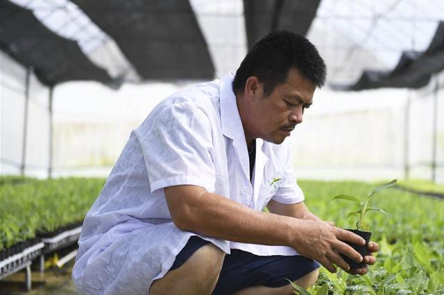 广西兴业打造香蕉等无枯萎病健康二级种苗繁育基地