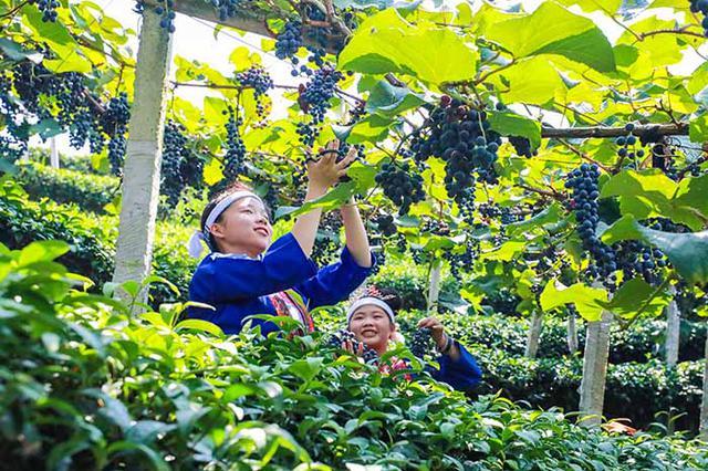 广西三江侗族自治县:种下葡萄树 党员带致富