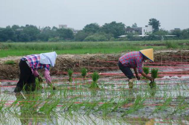 海水稻激活北海千亩良田 曾因海水倒灌丢荒十多年