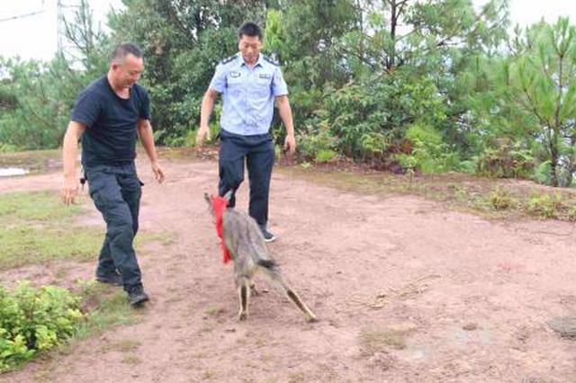 国家二级保护动物中华鬣羚闯入农家 民警救助放生
