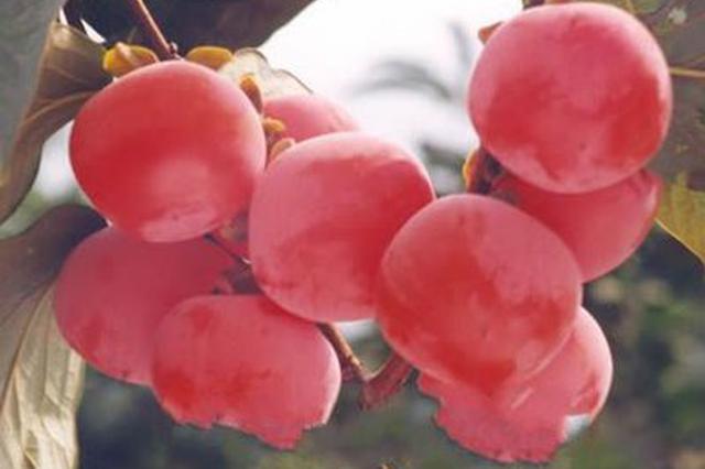 临潼特产火晶柿子因热播剧被带火 又一场假货的盛宴