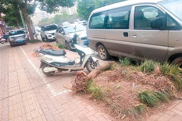南宁市凤凰路多棵绿化树莫名被毁 园林部门开展调查