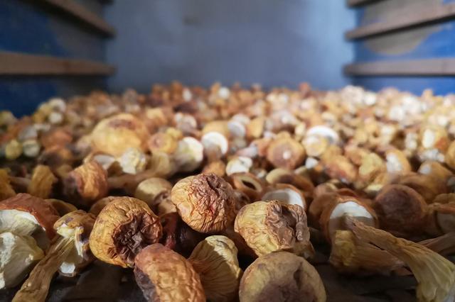浪平姬松茸:小蘑菇种出深山大希望