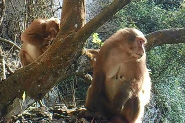 围观!大明山首次监测到国家一级保护动物——熊猴