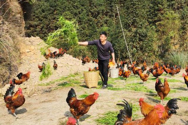 广西养殖户无奈训鸡吃牧草 意外发现省钱又走俏