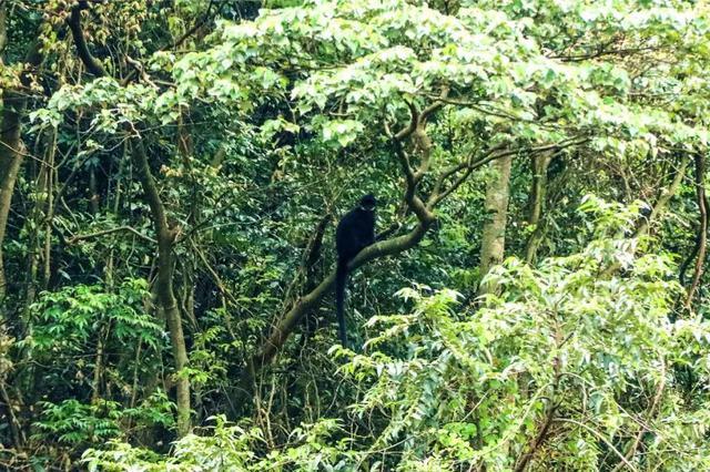 广西大明山保护区再现野生黑叶猴踪迹(图)