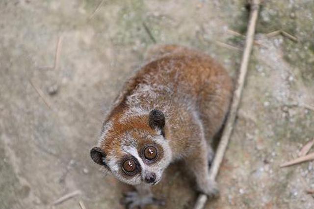 大眼睛超呆萌!广西凭祥民警救助一只野生蜂猴