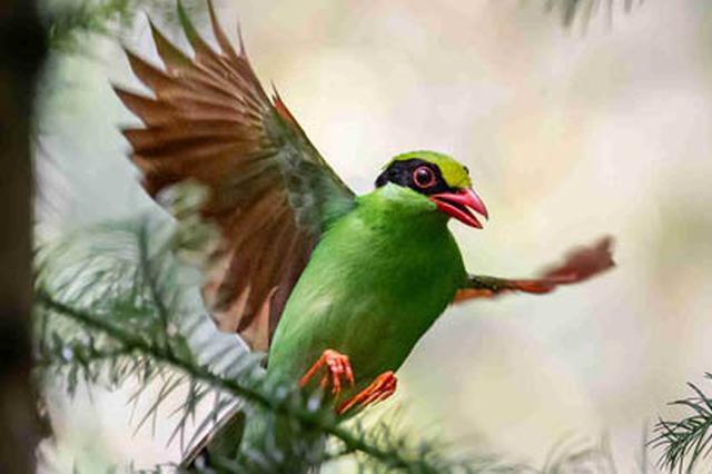 近20年来首次发现!国家保护动物蓝绿鹊现身广西龙州