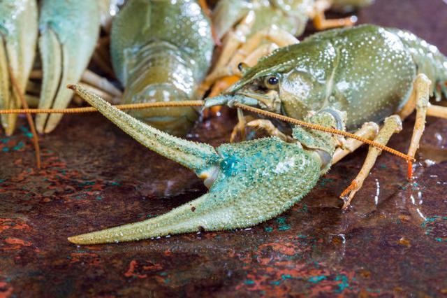 广西鹿寨江口乡发展淡水龙虾养殖 助农脱贫致富