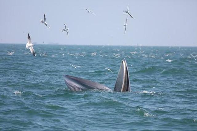 罕见!广西北部湾海域母子布氏鲸出游画面被拍下