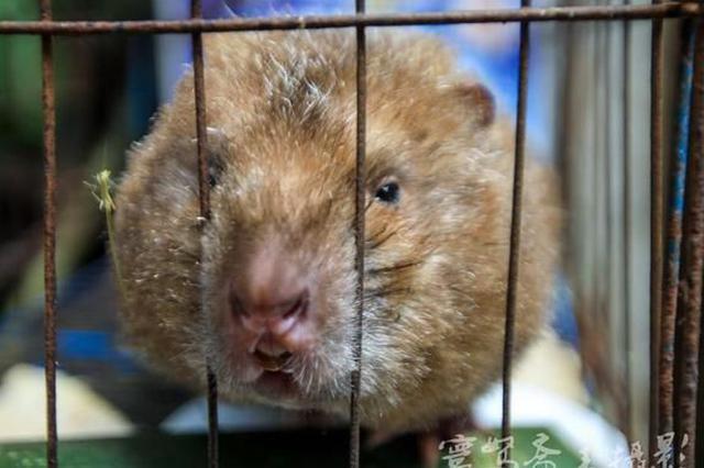 地球的一半|竹鼠悲情的背后 是现代与进步吗