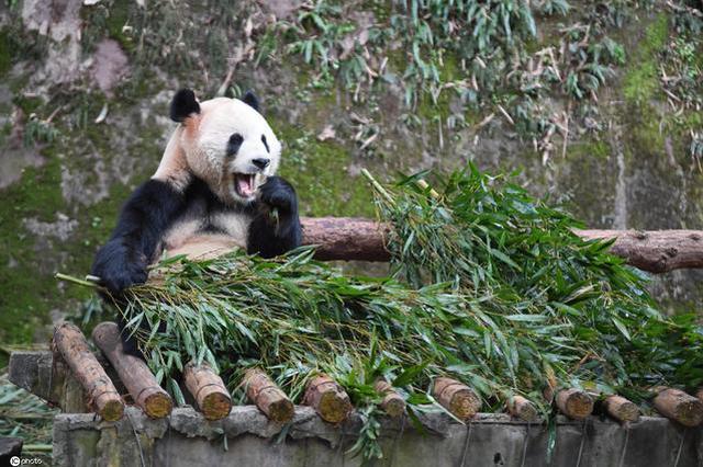 """超萌!柳州动物园大熊猫过生日吃上网红""""螺蛳粉"""""""
