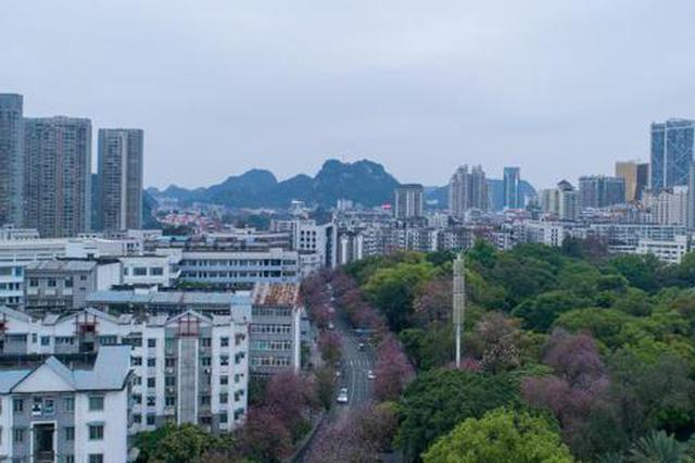 航拍广西柳州20余万株洋紫荆花盛开(组图)