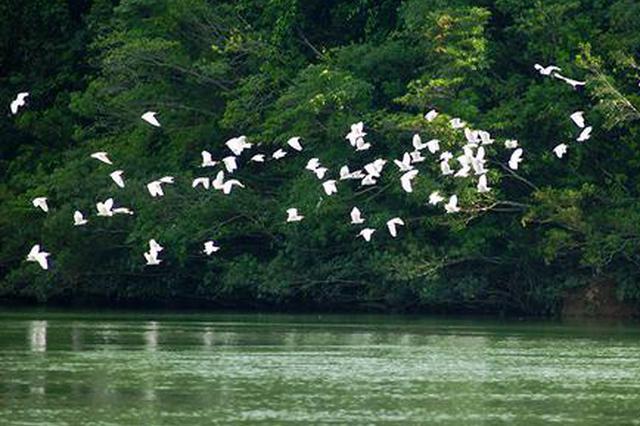 广西东兴:水清岸绿 引来白鹭翩翩飞