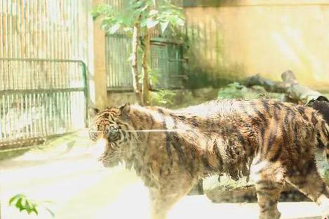 柳州动物园的老虎为什么会骨瘦如柴?官方回复
