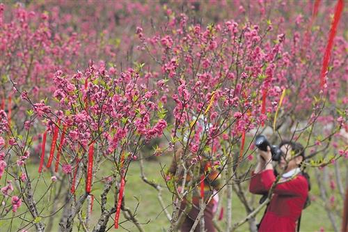 游人在青秀山桃花林中拍照 本报见习记者 胡雁 摄