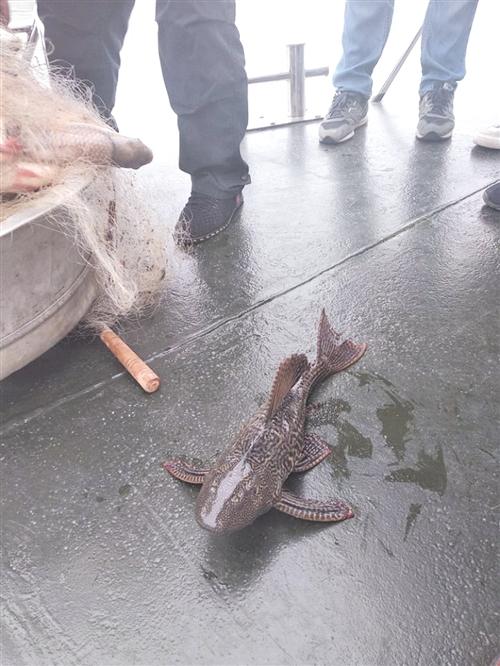 清网行动中发现一外来物种清道夫鱼