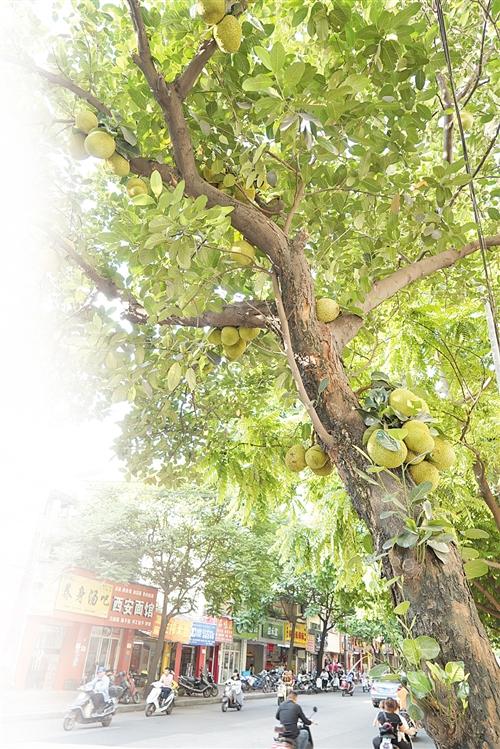 人民东路的菠萝蜜挂满树