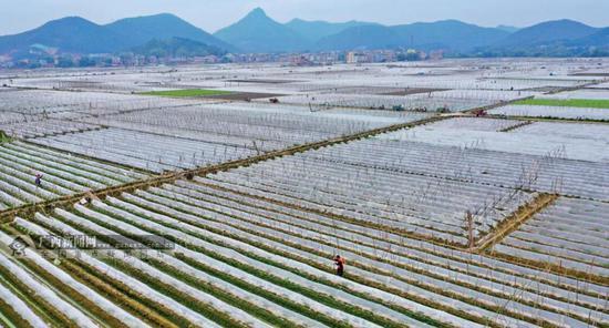 八桂大地春意盎然,农民群众在田间地头忙碌生产,力争实现全年增产增收。图为南宁市兴宁区五塘镇覆膜后的农田美不胜收。何光民 摄