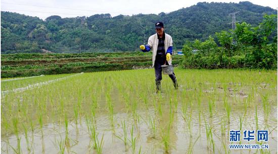 4月13日,广西河池市都安瑶族自治县下坳乡吉隆村村民在稻田里施肥。新华网发 高东风 摄