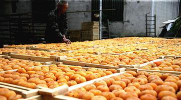 月柿金黄 农家晒秋