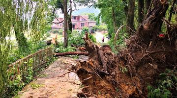 全州现11级大风 电线压断大树连根拔起
