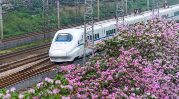 赏花啦!广西铁路沿线紫荆花竞相开放