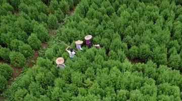 全国最大青蒿素生产基地——广西融安县
