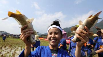 广西侗族妇女赛抓鱼打谷庆祝丰收