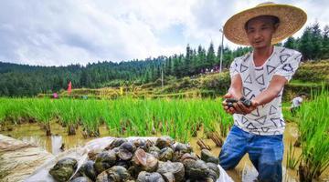 柳州山村养殖6000亩螺蛳丰收