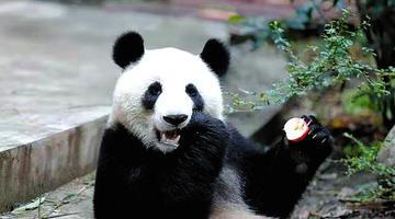 超萌!两只国宝大熊猫在南宁安家