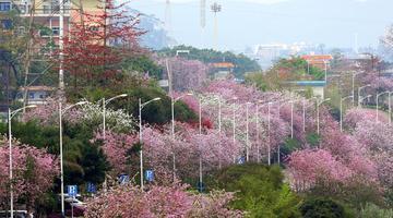 柳州市二十余万株洋紫荆盛开