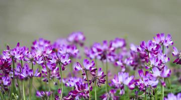 桂林紫云英花海美若仙境