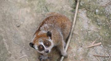 大眼睛超呆萌!广西民警救助野生蜂猴