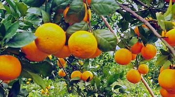 贺州钟山贡柑迎丰收 金黄果实挂满枝头