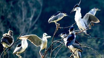 南宁青秀湖畔数只鹭鸟枝头嬉戏打闹
