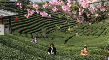 广西三江:赶采早春茶