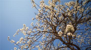 早春梨花千树雪