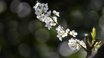 春风送暖李花开