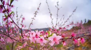 春风化雨 环江千亩桃花盛放