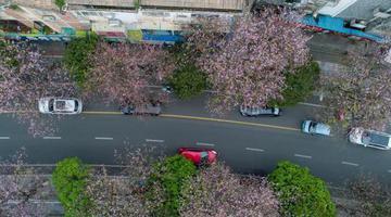 航拍柳州20余万株洋紫荆花盛开