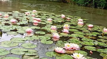 桂林:睡莲绽放 风送暗香来