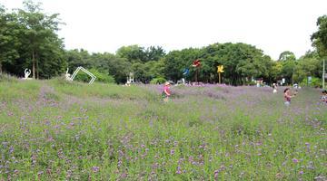柳州马鞭草绽放紫色浪漫