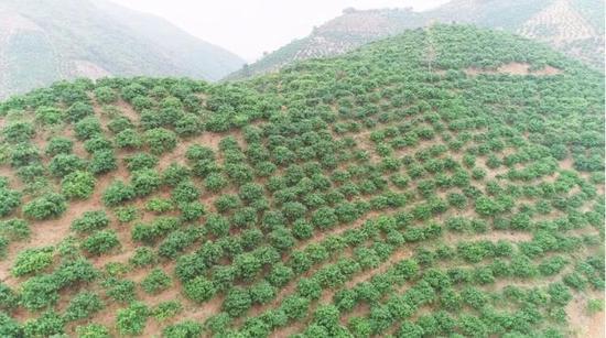 村里八成的山地都种上了芒果树。受访者供图