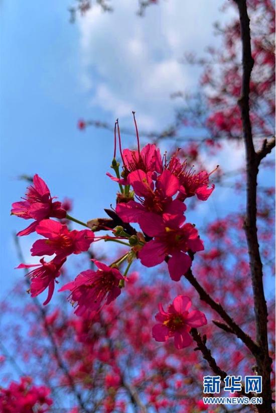 南宁石门森林公园樱花绽放。新华网发 陈泽雯 摄